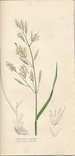 The Grasses of Great Britain, Illustrated By John Sowerby. Described, With Observations on Their Natural History and Uses. Parts XX and XXI