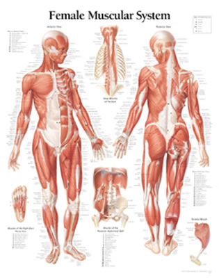 Muscular System, Female - Scientific Publishing