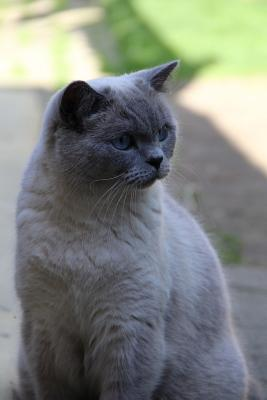 """The British Shorthair Cat Journal """"yes, You May Worship Me Now."""": 150 Page Lined Notebook/Diary - Breeds, Cat"""