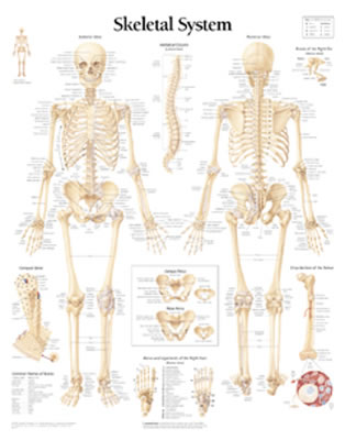 The Skeletal System Chart - Scientific Publishing, and Various