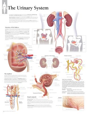 The Urinary System Chart - Various